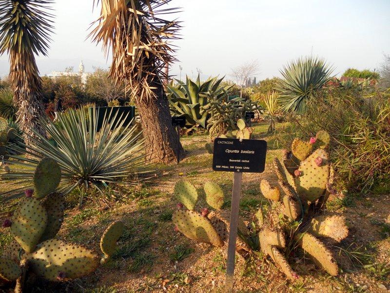 kaktus, kaktuksia, kasvitieteellinen puutarha, puisto, Barcelona